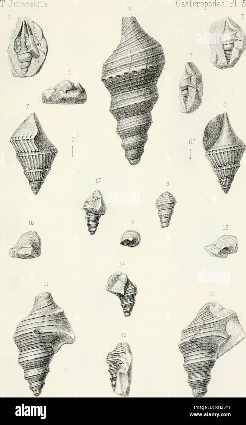 . Paléontologie française; description zoologique et géologique de tous les animaux mollusques et rayonnés fossiles de France. Paleontology. PALEONTOLOGIE FRANÇAISE Gastéropodes,PL 51. V 3. Humhert del. etiïtù G Masson,Editeur. Liip Jecanet, Taris. Z. jélari/v confz/i/Â^ Cora/. .?_ .f A. (?lauciis, ( ûrô. sjo.J â, y. Al an a cûmi/z^s, (JSuv.) ûfra/. Please note that these images are extracted from scanned page images that may have been digitally enhanced for readability - coloration and appearance of these illustrations may not perfectly resemble the original work.. Orbigny, Alcide Dessalines  - Stock Image
