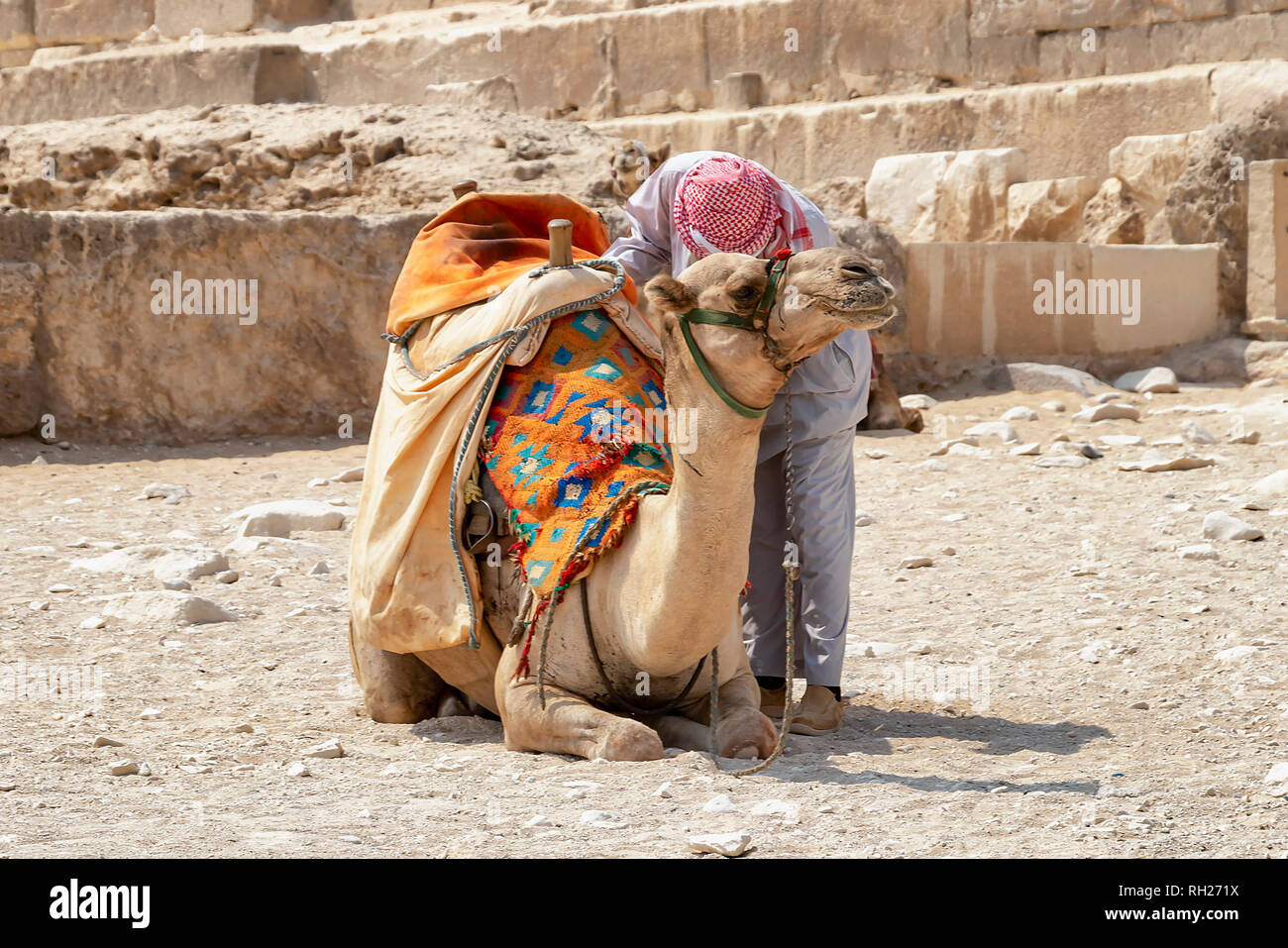 Bedouin with camel for tourists near pyramids in Giza desert, Egypt Stock Photo