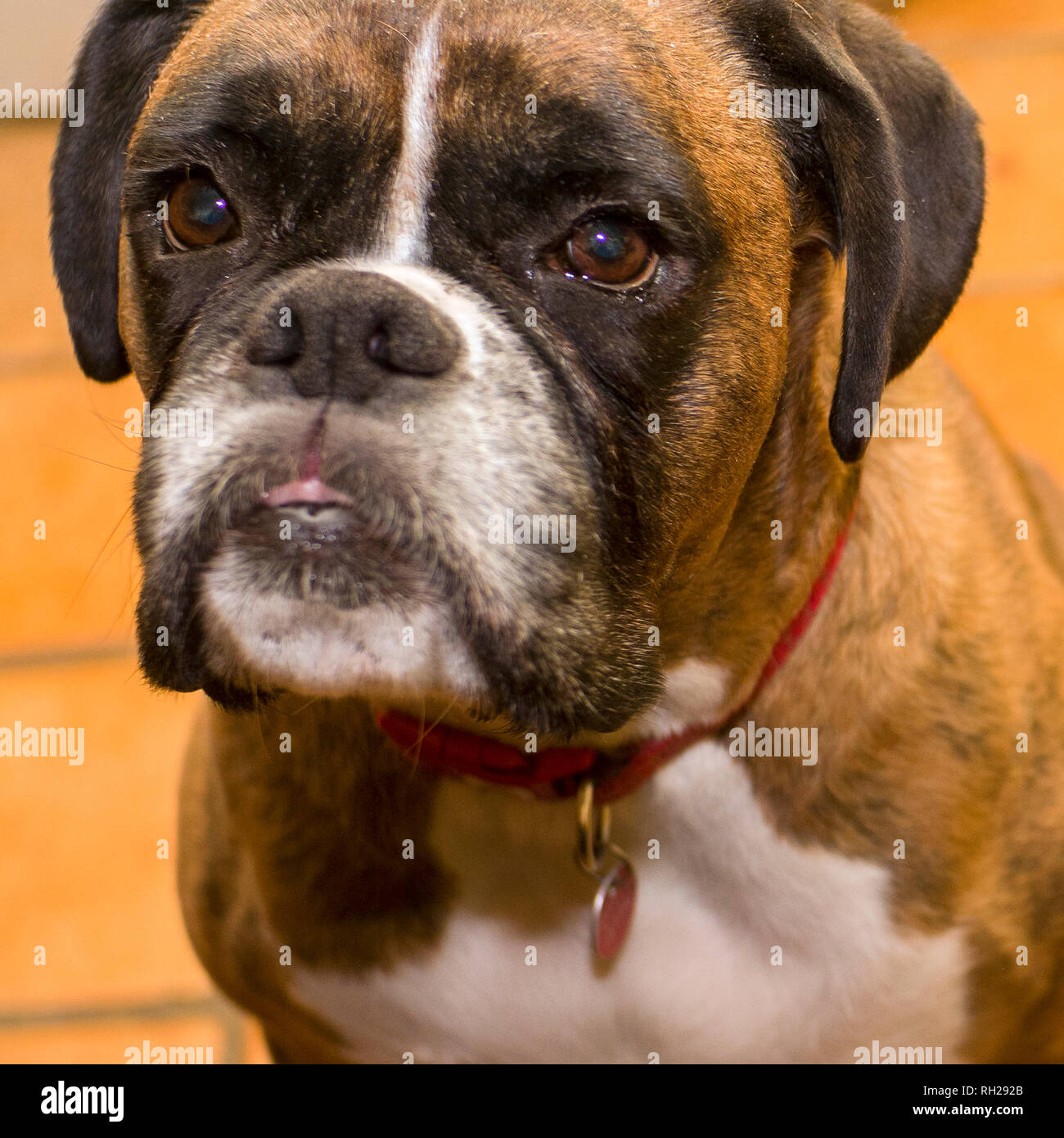 Fawn Brindle German Boxer Headshot,boxer looking up, - Stock Image