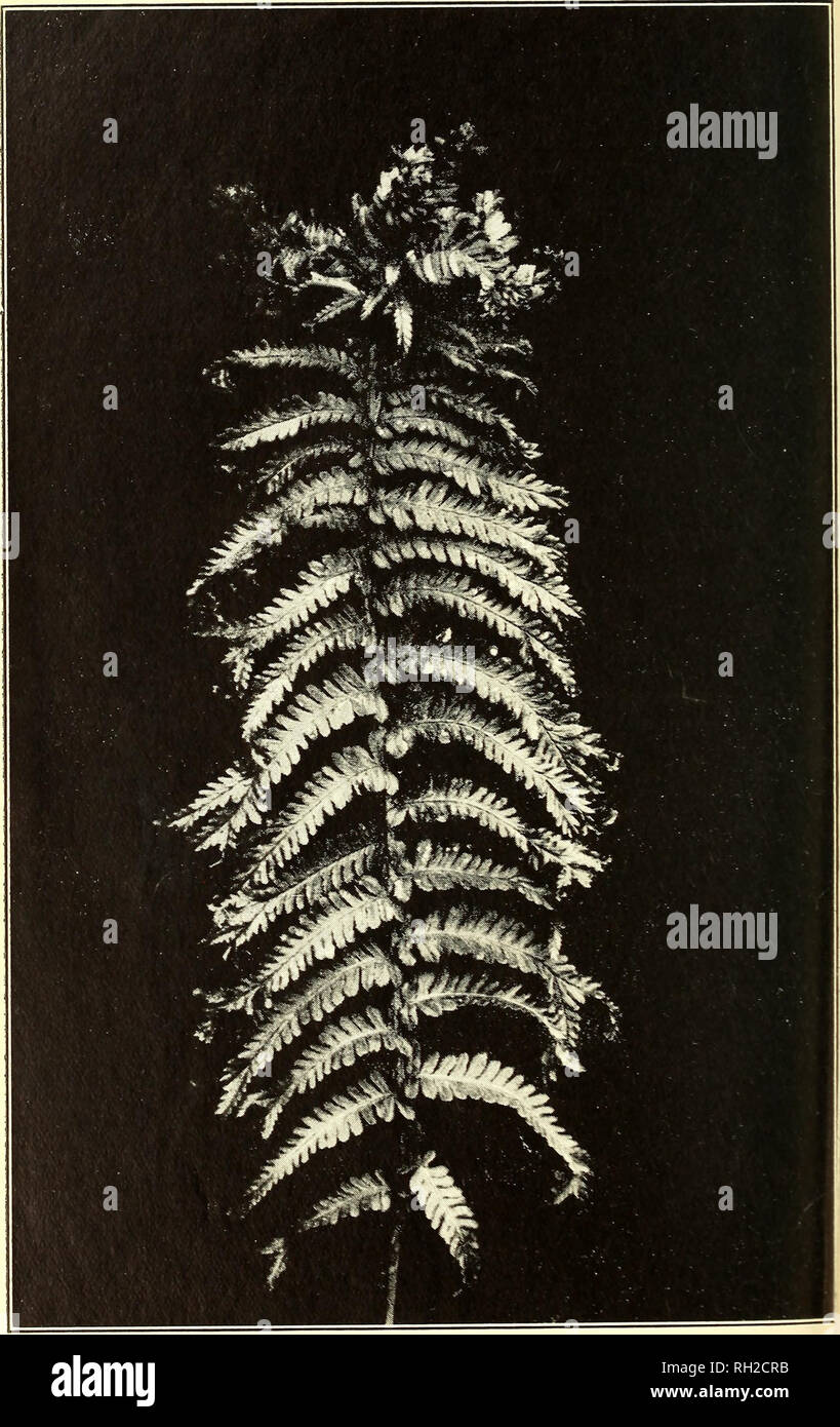 . The British fern gazette. Ferns. LASTREA FIL1X-MAS GRANDICEPS. C. HENWOOD. Please note that these images are extracted from scanned page images that may have been digitally enhanced for readability - coloration and appearance of these illustrations may not perfectly resemble the original work.. British Pteridological Society. [s. l. ] British Pteridological Society Stock Photo