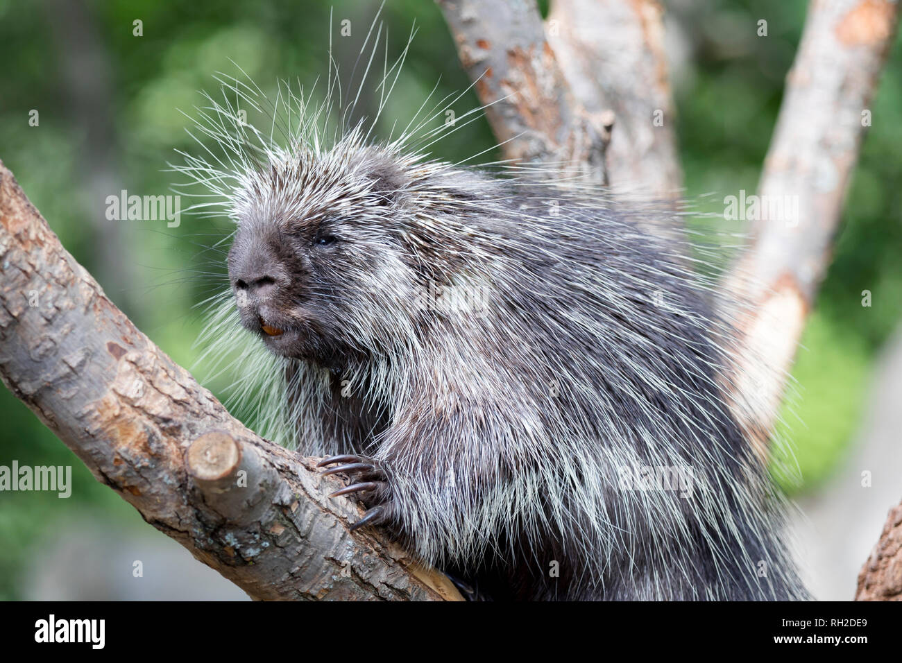 North American Porcupine (Erethizon Dorsatum) standing in a tree, also known as the Canadian Porcupine or common porcupine Stock Photo