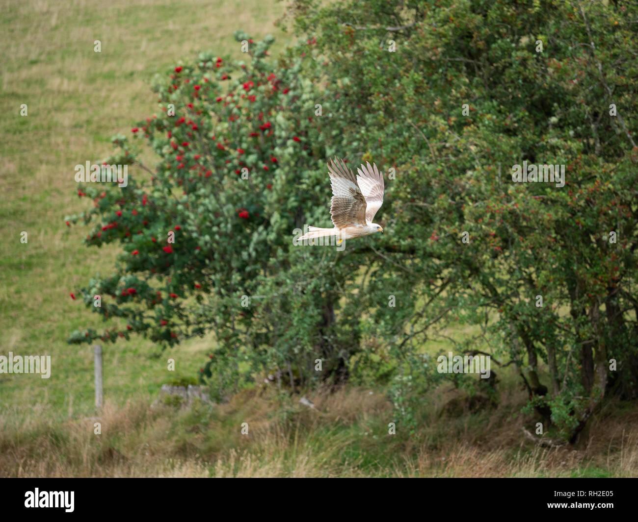 Leucistic Red Kite ( Milvus milvus ) - Stock Image