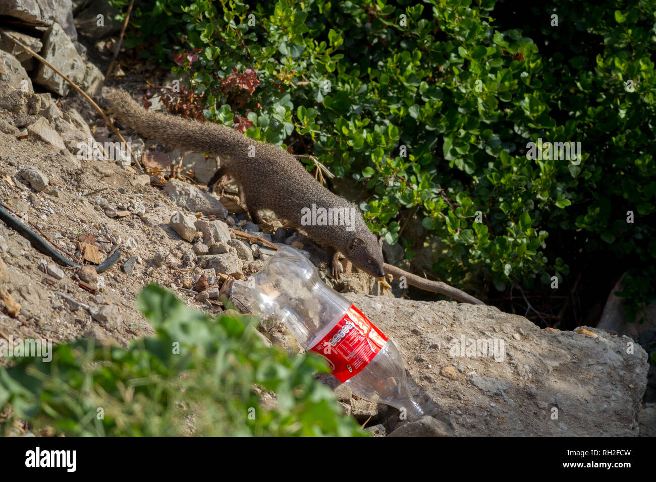 Cape Gray Mongoose (Galerella pulverulenta) in the undergrowth with discarded bottle highlighting plastic pollution, South Africa - Stock Image