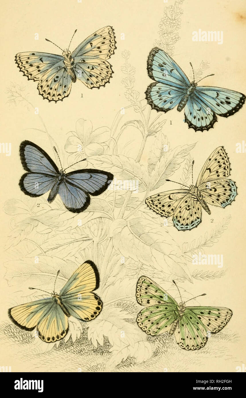 . British butterflies. Werner, Abraham Gottlob, 1749-1817; Butterflies. PLATE 32. Please note that these images are extracted from scanned page images that may have been digitally enhanced for readability - coloration and appearance of these illustrations may not perfectly resemble the original work.. Duncan, James, 1804-1861; Cuvier, Georges, baron, 1769-1832; Jardine, William, Sir, 1800-1874; Burth, Edward Henry, former owner. DSI. Edinburgh : W. H. Lizars ; London : Henry G. Bohn Stock Photo