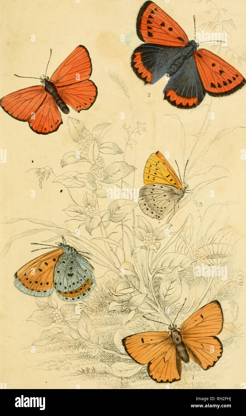 . British butterflies. Werner, Abraham Gottlob, 1749-1817; Butterflies. -. Please note that these images are extracted from scanned page images that may have been digitally enhanced for readability - coloration and appearance of these illustrations may not perfectly resemble the original work.. Duncan, James, 1804-1861; Cuvier, Georges, baron, 1769-1832; Jardine, William, Sir, 1800-1874; Burth, Edward Henry, former owner. DSI. Edinburgh : W. H. Lizars ; London : Henry G. Bohn Stock Photo