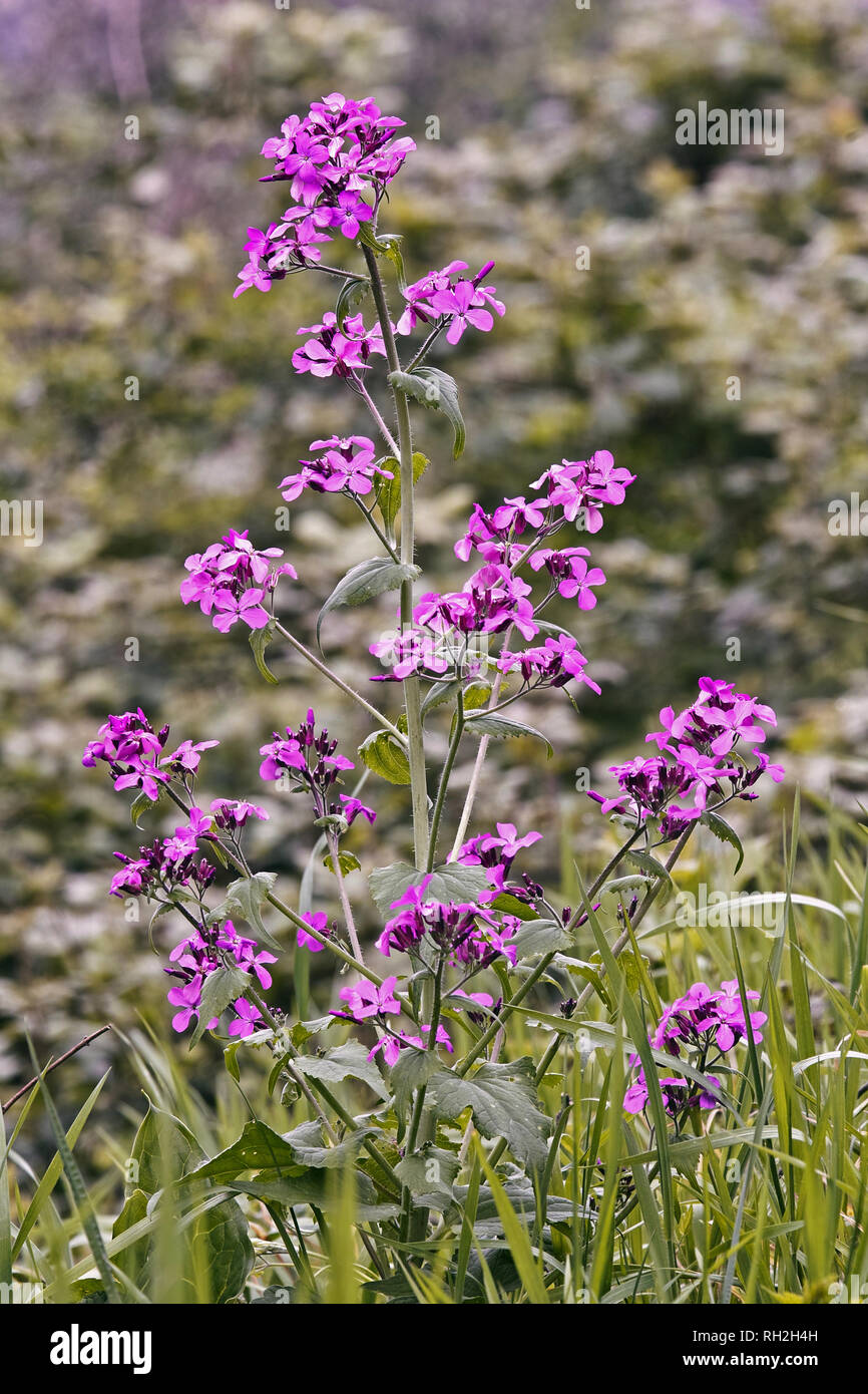 plant of lunaria annual or coin pope in flowering - Stock Image