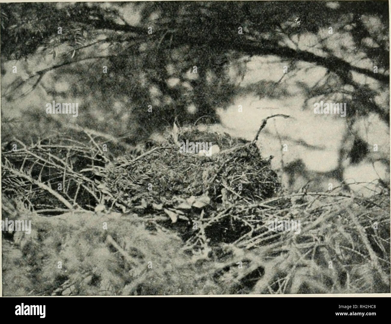 . British birds. Birds. VOL. VI.] NOTES. 15 diameter of the cup of the nest is 3 inches. At first sight it resembles a half-completed Blackbird's nest. It should be remarked that the nest was rather more shut in than appears. NEST OF A REDBREAST WITHIN THAT OF A SONG-THRUSH. (Photographed by T>. G. Gamett.) in the photograph, as it was necessary to bend back some branches so as to admit enough light for photographic purposes. D. G. Garnett. CHAFFINCH'S NEST DECORATED WITH PAPER. A PAIR of Chaffinches (Frmgilla c. ccelebs) have built a nest upon the side of a tree trunk in the St. Nicholas G - Stock Image