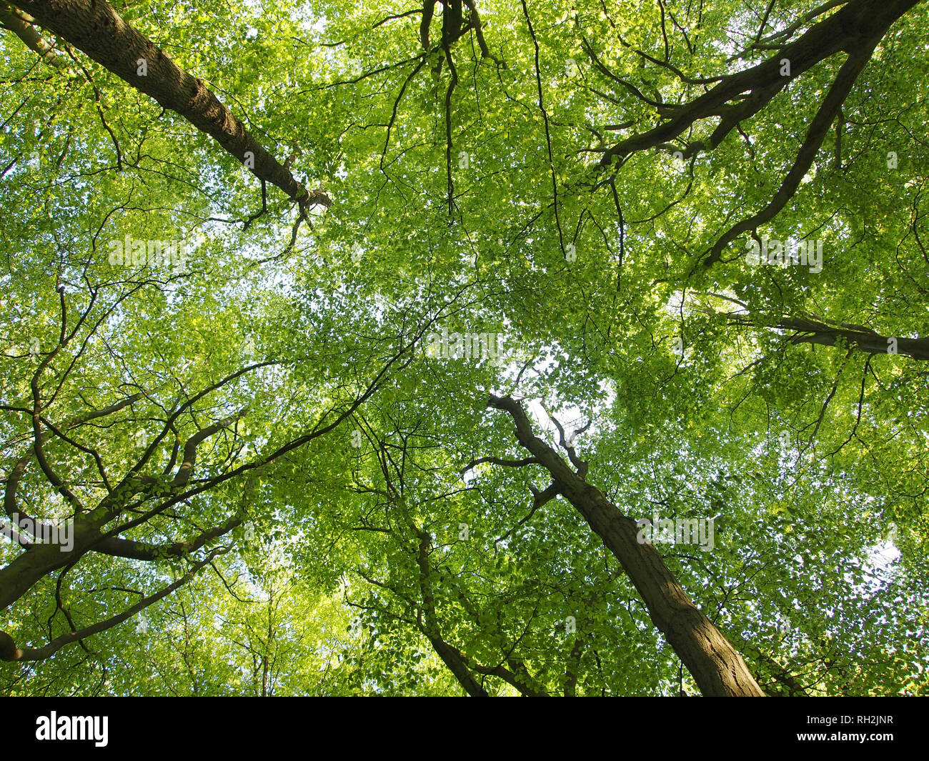 "Beech tree canopy showing what is known as ""crown shyness"" in the tree tops. Young beech leaves with backlight. Stock Photo"