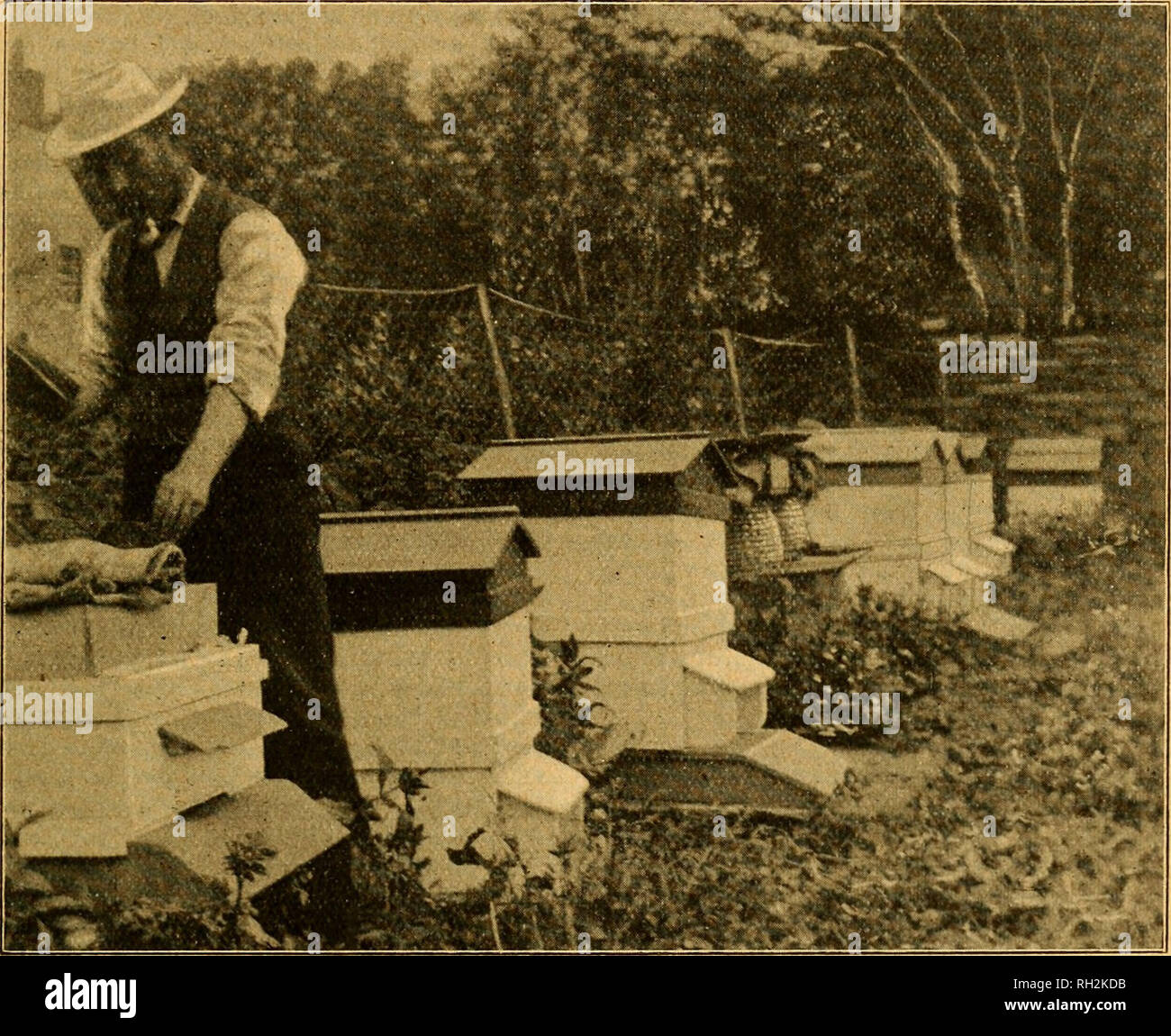 """. British bee journal & bee-keepers adviser. Bees. April 23, 1903.] THE BRITISH BEE JOUENAL. 165 take the hint, and add bee-keeping to their list of extra subjects. Writing of himself, our Scotch friend says :— """" My home of the honey bee is situated some twelve miles from John o' Groats. The apiary consists of twenty frame-hives and three straw skeps. The county of Caithness can boast of several excellent and up-to-date apiaries, and, but for the disastrous year of 1902, all would be in a thriving condition and give satisfac- tory results. For example, let me say, I com- menced the ye - Stock Image"""