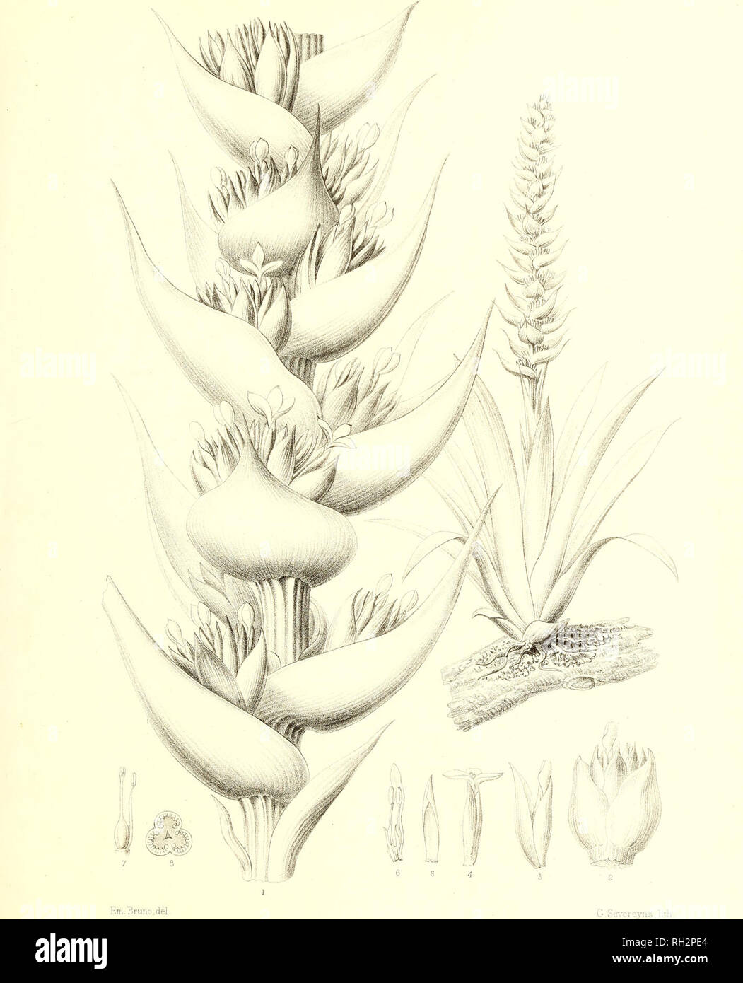 . Bromeliaceae andreanae : description et histoire des broméliacées récoltées dans la Colombie, l'Ecuador et le Venezuela. Bromeliaceae; Botany. BROMELIACEE ANDREA NE Pl. XXXVII.. TILLANDSIA FASTUOSA , Ed. André. Please note that these images are extracted from scanned page images that may have been digitally enhanced for readability - coloration and appearance of these illustrations may not perfectly resemble the original work.. André, Edouard François, 1840-1911. Paris : Librairie Agricole Stock Photo