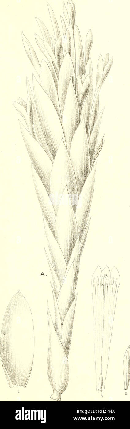 . Bromeliaceae andreanae : description et histoire des broméliacées récoltées dans la Colombie, l'Ecuador et le Venezuela. Bromeliaceae; Botany. BROMELIACEE ANDREAN/E PL XIV. Em. Bruno, del. Please note that these images are extracted from scanned page images that may have been digitally enhanced for readability - coloration and appearance of these illustrations may not perfectly resemble the original work.. André, Edouard François, 1840-1911. Paris : Librairie Agricole Stock Photo