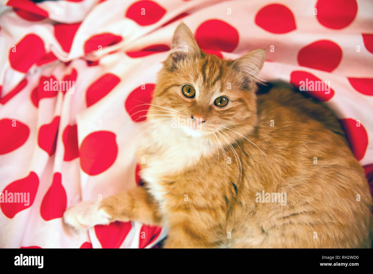 Red Home Small And Cute Cat On Bed Beautiful Well Kept Domestic Cat Retro Climate And Colors Black And White Dots Material Stock Photo Alamy