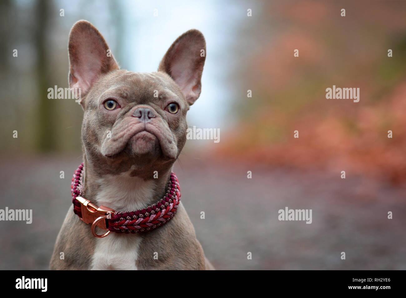 Beautiful Rare Colored Lilac Brindle Female French Bulldog