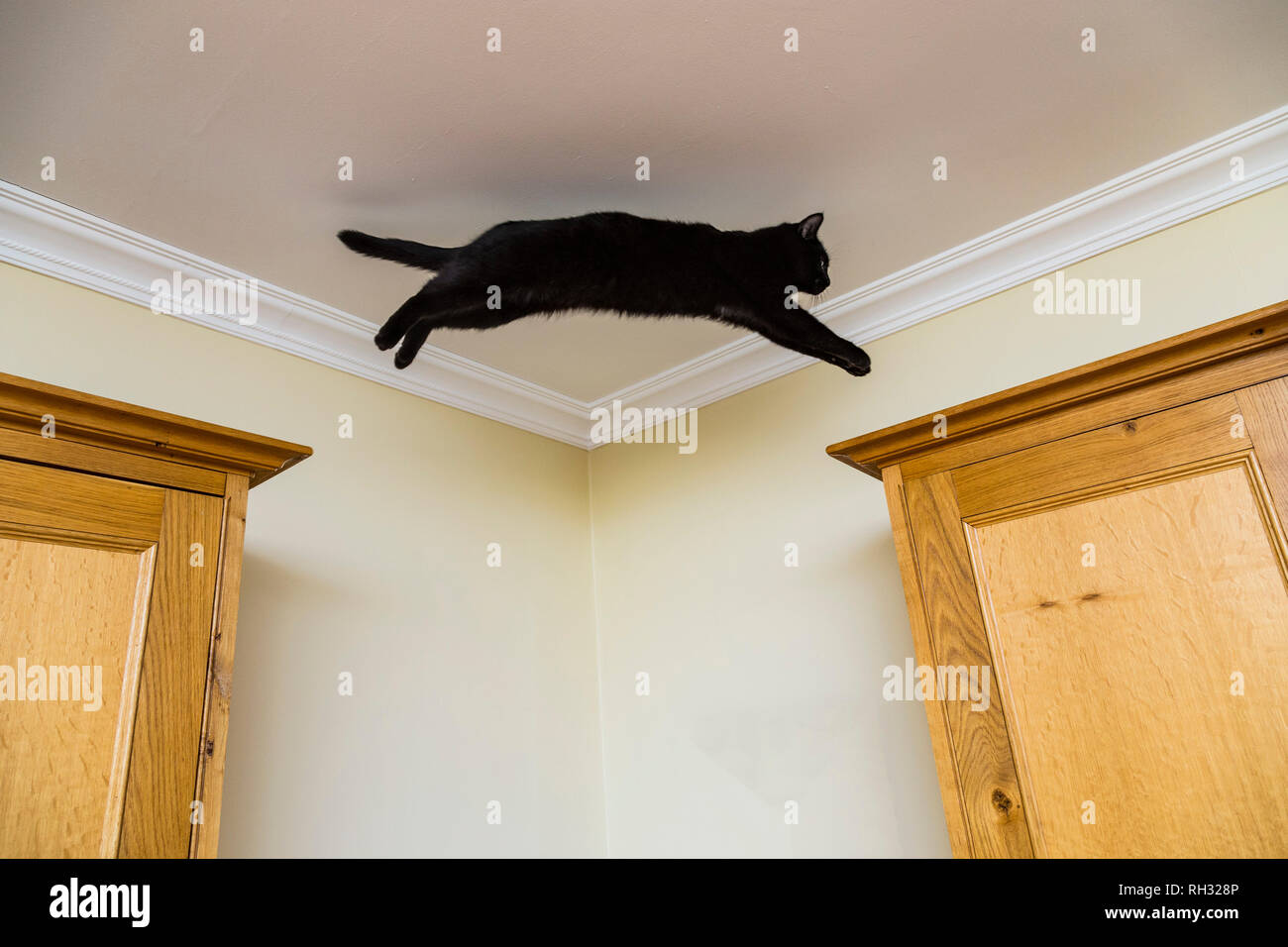 A young black cat leaps between two wooden cupboards. - Stock Image