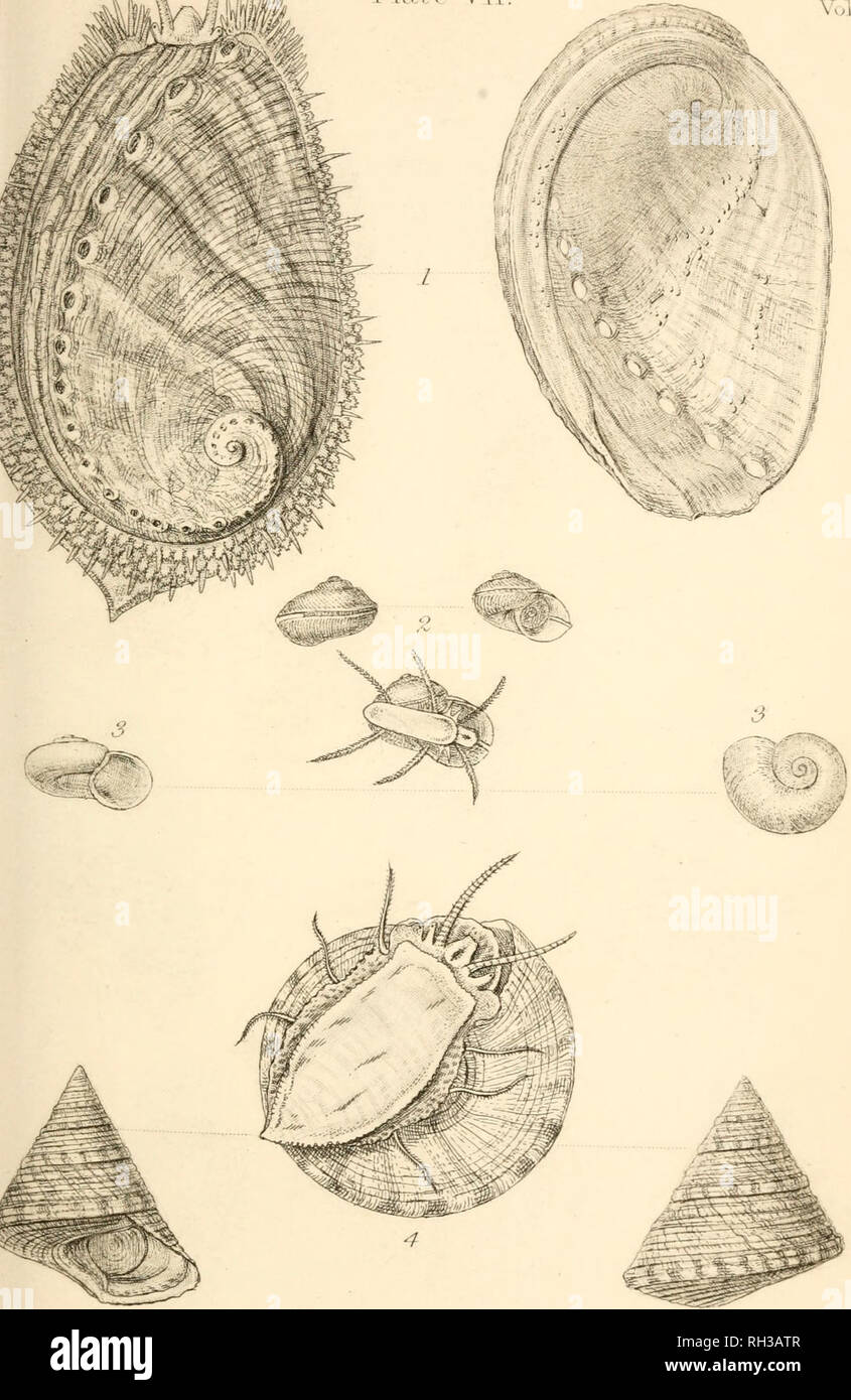 . British conchology, or, An account of the Mollusca which now inhabit the British Isles and the surrounding seas. Mollusks; Shells. ^n^rJI'M Pl.vw- Vll.. I. Hal I oil. ^. Scissjj rpllch 4. Trorh us clu.-<trem ii. J. li'. Salter,^ / mJ/'^. Please note that these images are extracted from scanned page images that may have been digitally enhanced for readability - coloration and appearance of these illustrations may not perfectly resemble the original work.. Jeffreys, John Gwyn, 1809-1885; Sowerby, W. , ill; Sowerby, G. B. (George Brettingham), 1812-1884, ill; Dall, William Healey, 1845-1927, - Stock Image