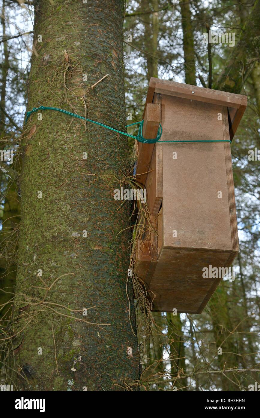 Wooden den box attached to a pine tree for use by Pine Martens (Martes martes) reintroduced to Wales by the Vincent Wildlife Trust, Cambrian Mountains - Stock Image