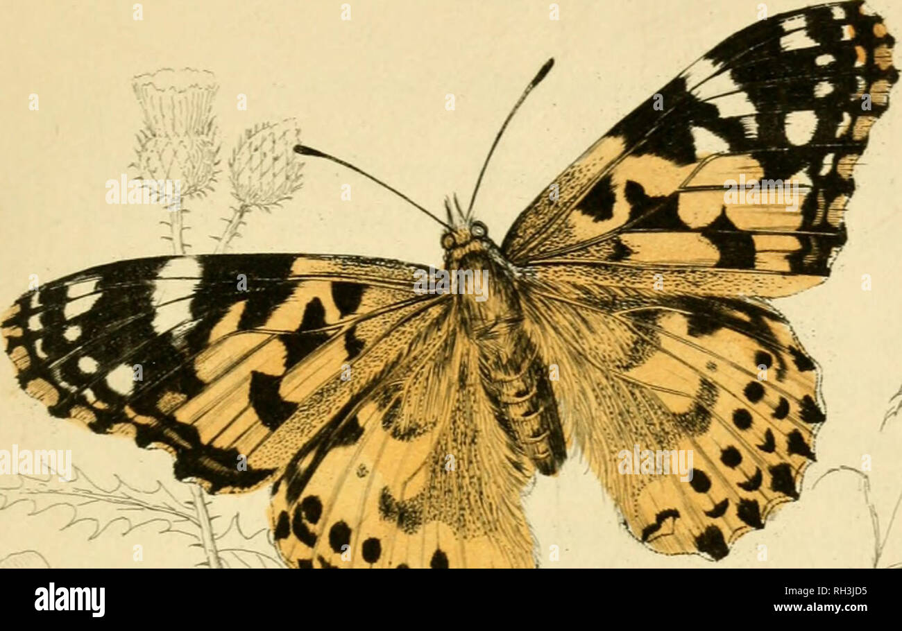 . British butterflies. Werner, Abraham Gottlob, 1749-1817; Butterflies. PLATE 19.. Please note that these images are extracted from scanned page images that may have been digitally enhanced for readability - coloration and appearance of these illustrations may not perfectly resemble the original work.. Duncan, James, 1804-1861; Cuvier, Georges, baron, 1769-1832; Jardine, William, Sir, 1800-1874; Burth, Edward Henry, former owner. DSI. Edinburgh : W. H. Lizars ; London : Henry G. Bohn Stock Photo
