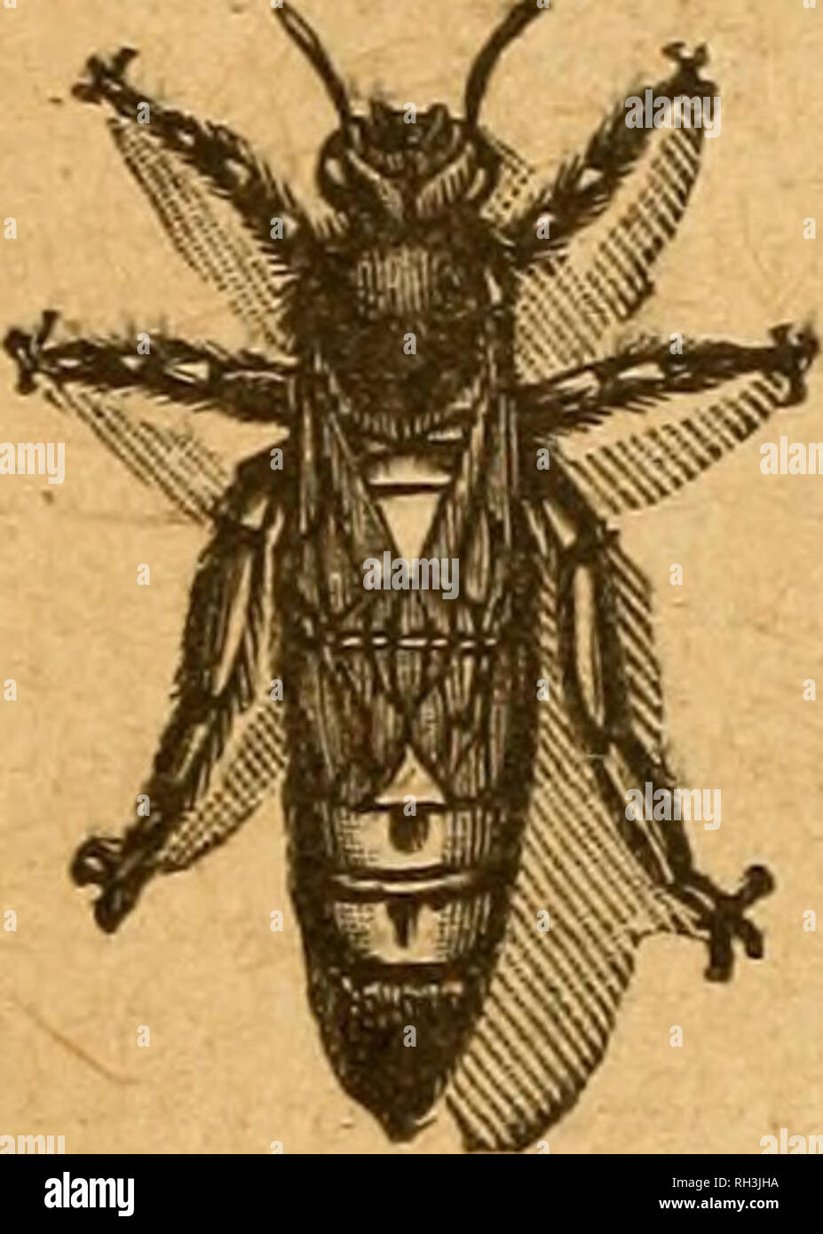 """. British bee journal & bee-keepers adviser. Bees. 360 THE BRITISH B^ JOlTRyAL. July 22, 1920. HAVB tOtI EBAI> """"THB BM WORLD""""? If not, irhj noit Eveiry aumlMr in itself i» « uMful lit«rar7 work for pr«etic« and refM»ne«. Bp«cim«B eop7 free.—Offic«a: THB A.PIS OLUB, Port HIU HooM, Benson, Oxeo. ITALIAN QUEENS Direct from Italy. Address: Signor Gaetano Plana, Castel San Pietro. near Bologna, Italy.. All Queens are reared by the most up-to-date and scientific methods. Mr. W. Herrod-Hempsall has personally inspected the apiary and methods employed, with which he is perfectly satis - Stock Image"""