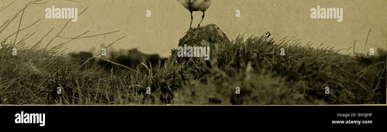 . British birds. Birds. Fig. 1. COMMON GULL: TO SHOW ATTITUDE ONE.. Fig, 2 COMMON GULL: TO SHOW ATTITUDE TWO. (Photographed hy Miss M. D. Haviland.). Please note that these images are extracted from scanned page images that may have been digitally enhanced for readability - coloration and appearance of these illustrations may not perfectly resemble the original work.. London, Witherby & Co - Stock Image