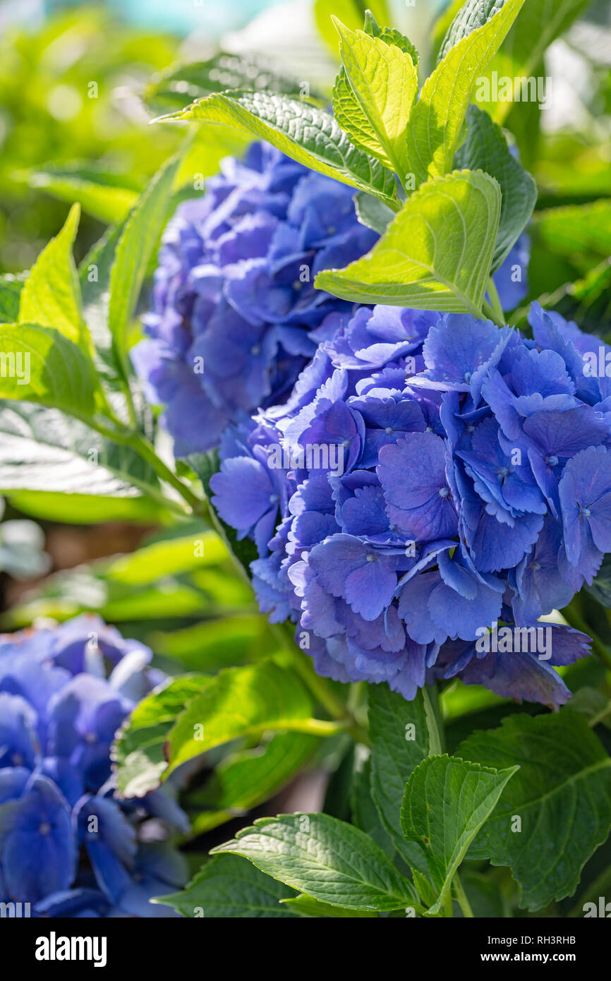 "Hydrangea ""L A Dreamin"" in bloom Stock Photo"
