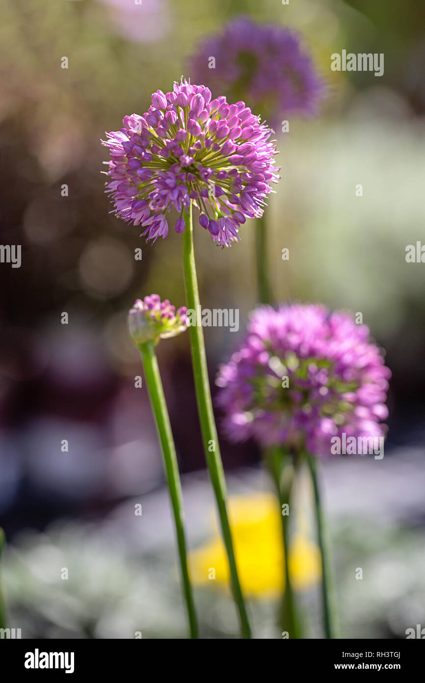 "Allium ""Pink Planet"" blooming Stock Photo"