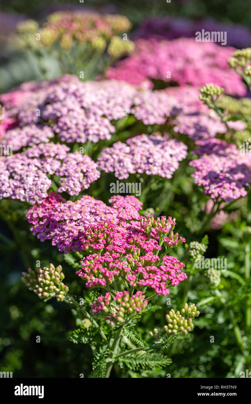 "Yarrow ""Song Siren Little Susie"" in bloom Stock Photo"