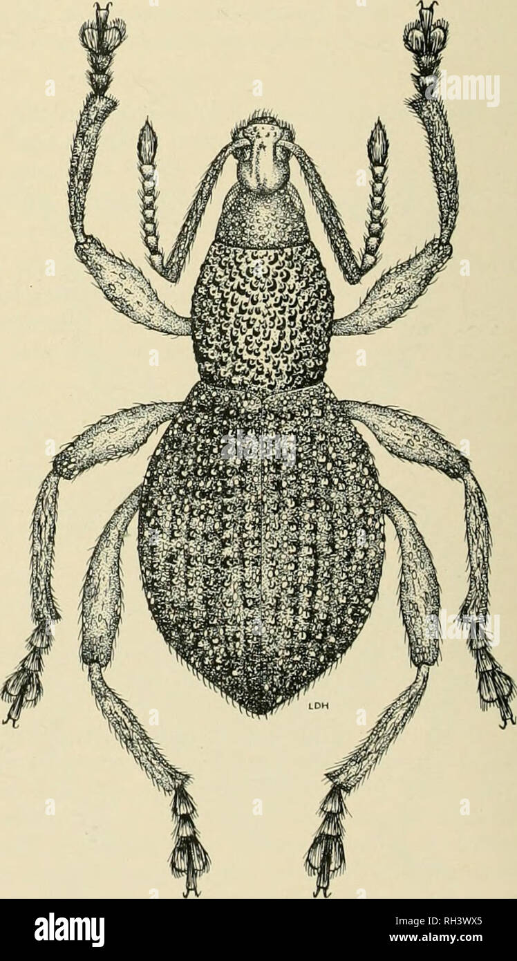 . Brigham Young University science bulletin. Biology -- Periodicals. Fig. 3. Kietana episomoides HUr. brown clothed with white scales and setae, tarsi black; ventral area and ventrites with white scales and setae. Length 9.S mm; breadth 4 mm. Type locality: Bougainville, Kieta (Dr. Schlaginhaufen) 1908-5 tijpus, 1908-5 Staatl, Mu- seum fiir Tierkunde, Dresden. Kietana gressitti n. sp. Fig. 4 Demi black with small pale greenish scales, pronatum with a narrow median strip of scales; elytra, legs, and ventral surface with small groups of green scales. Head rugose with small punctures on apical po - Stock Image