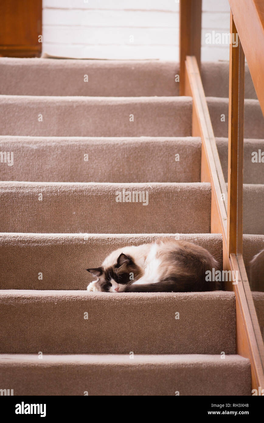 House-cat asleep on stairs to upper rooms presenting a slight sleeping hazard to humans in the house. - Stock Image
