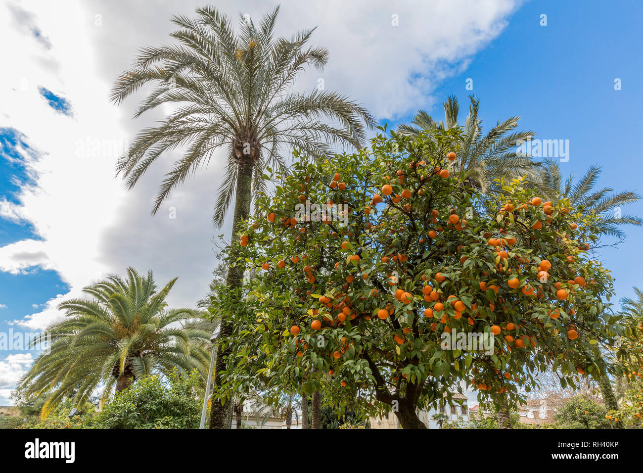 Orange tree with oranges and palm trees in a garden, wonderful and sunny day with a blue sky in Cordoba Spain - Stock Image