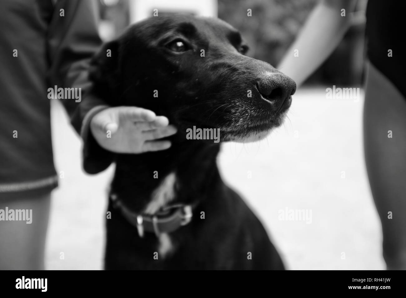 Portrait of a friendly black dog being petted by children, Finch Hatton, Queensland 4756, Australia Stock Photo