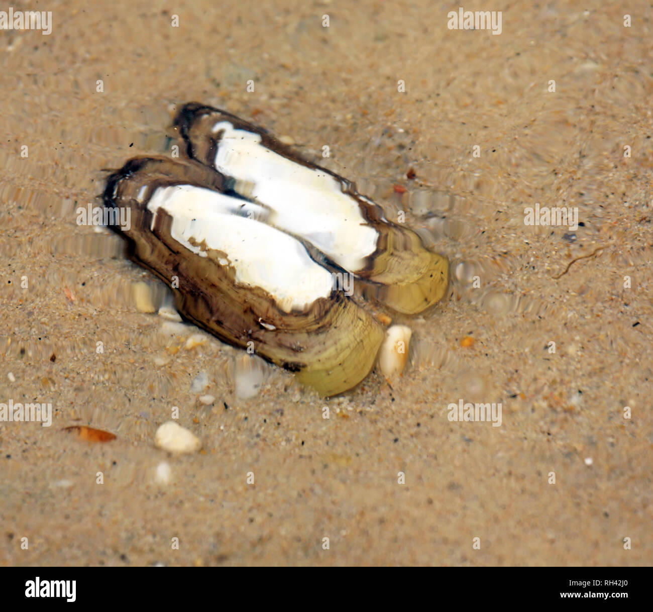 opened dead clam shell on sandy bottom under rippled water - Stock Image