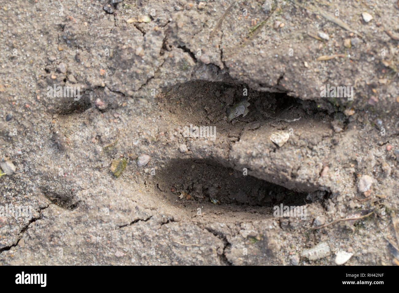 Fallow deer (Dama dama) footprint in sand showing hooves - Stock Image