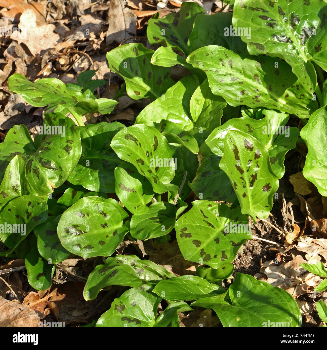 Young leaves of Arum maculatum in early spring - Stock Image