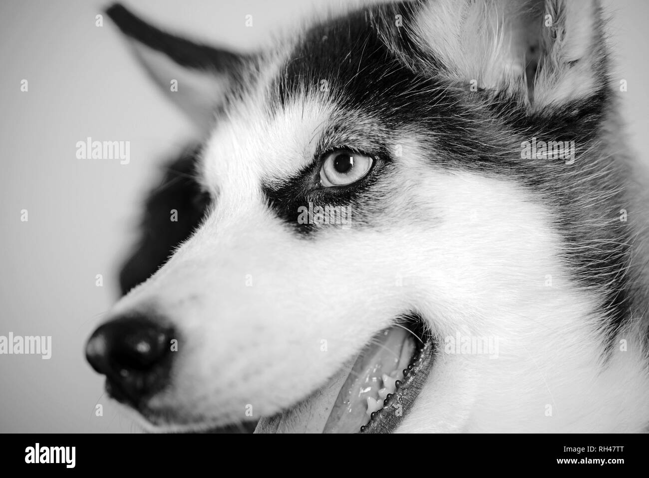 Life is short, play with your dog. Husky with blue eyes and wolf like look. Husky dog. Cute pet dog. Siberian husky is a beautiful purebred dog breed. - Stock Image