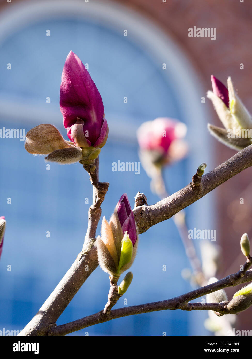 Flowering Magnolia Buds In The Spring Springtime Purple Flower Buds