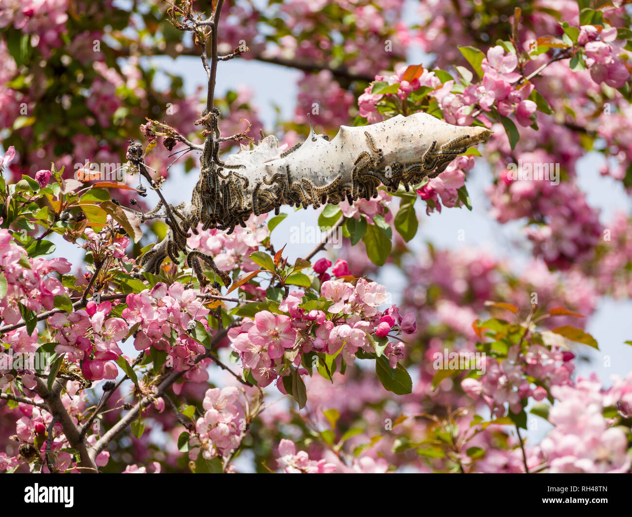 Tent Caterpillars on a Flowering Tree: A seething swarm of tent caterpillars covers the branch of a flowering crab tree covered in fragrant pink spring blossoms. - Stock Image