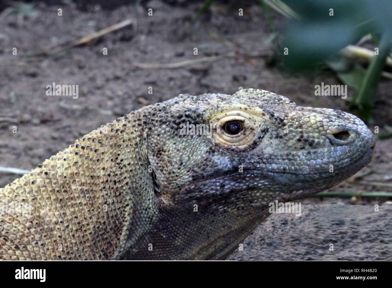 Kimodo dragon in zoo Stock Photo