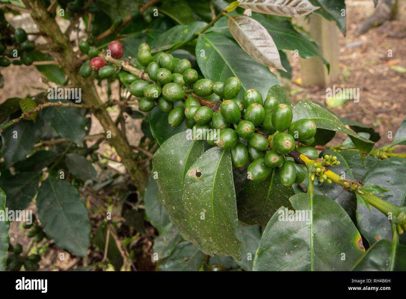 Unripe Green Coffee Cherries on a Coffee Bush in Peru Stock Photo
