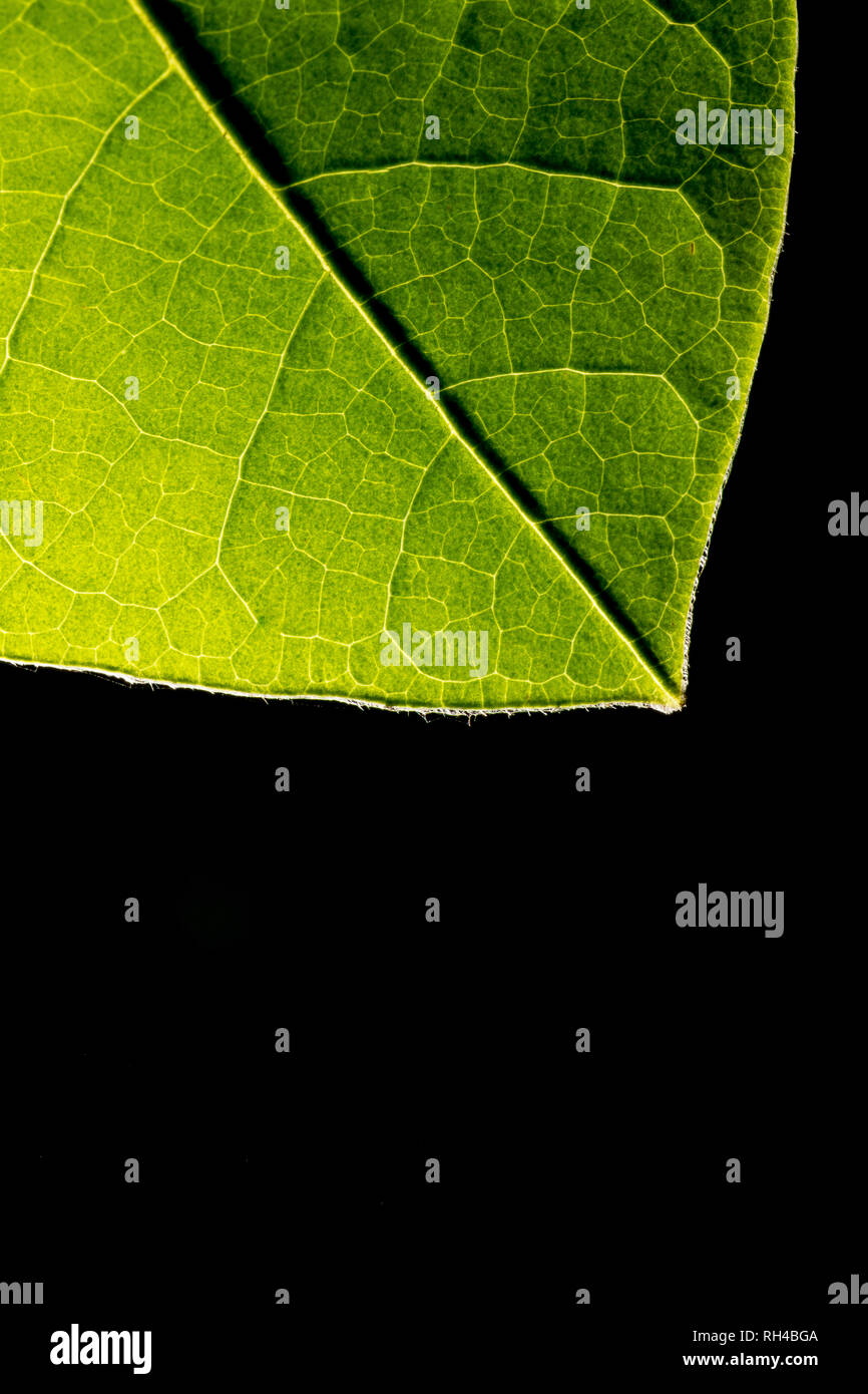 Backlit green leaf showing veins on a black background with copyspace - Stock Image