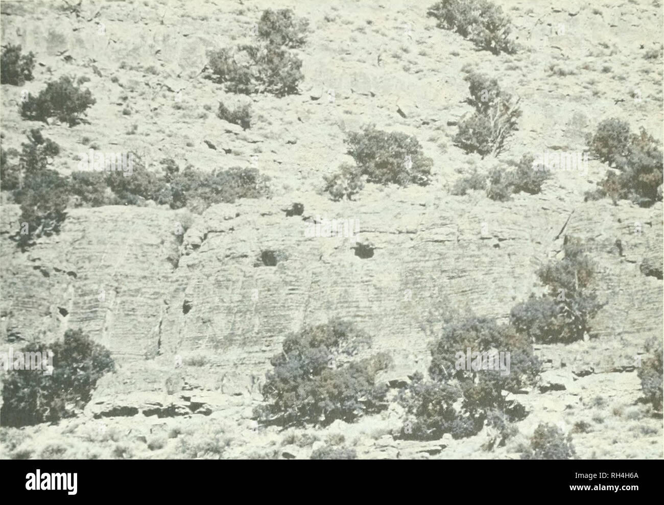 . Brigham Young University science bulletin. Biology -- Periodicals. BioLcx;icAL Seiues, '()l. 18, No. 3 Bheeuing Ecology of Utah IUptoks 21. Fig. 10. Cliff nesting site of Prairir Falcons and Great Homed Oivls in the western Thorpe Hills. l)V Starlings (Stunii.s vulgaris) nesting in the same localities. The onh' Short-eared Owl nest on the study area was located at an elevation of 4S90 feet. The nest site was placed at the base of a large clump of sagebmsh and was partially sheltered and hidden b' its branches. A few twigs had been arranged on the nest floor and down was placed among them;  Stock Photo