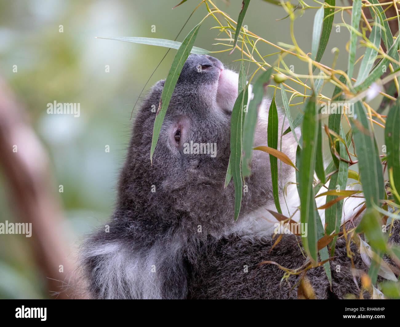 Australian koala, arboreal herbivorous marsupial, native to Australia - Stock Image