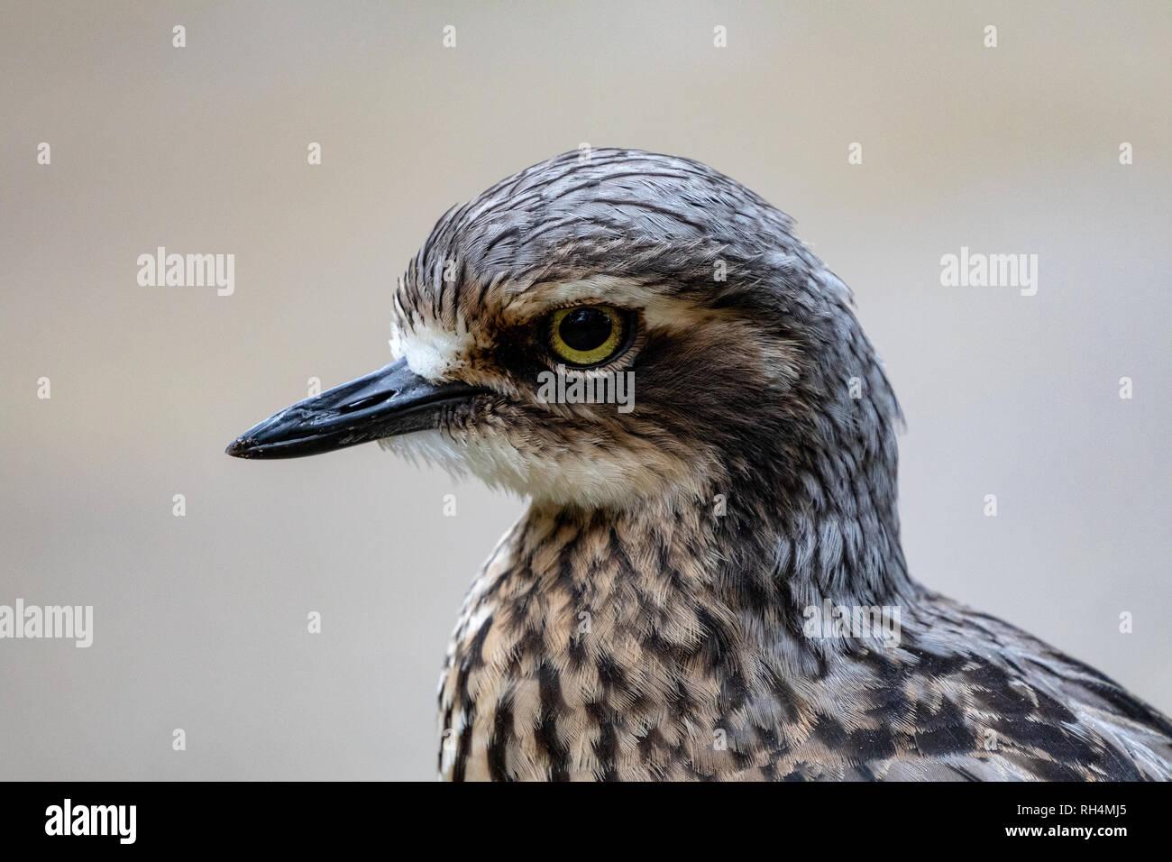 Bush Stone Curlew, Australian Water Bird, landscape orientation - Stock Image