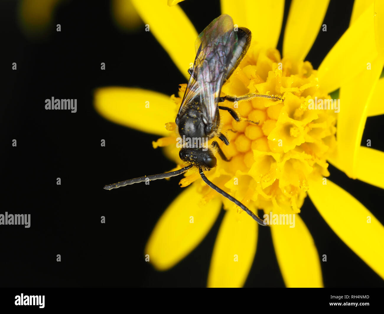 Male sweat bee, Lasioglossum sp. (or, less likely, Halictus sp.), on a flower - Stock Image