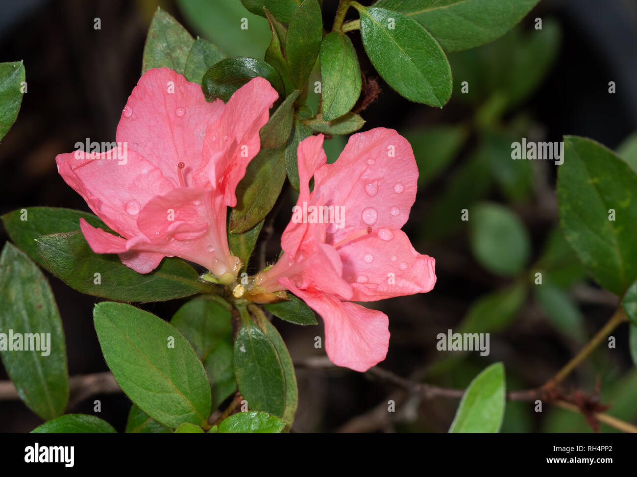 Closeup Pink Rhododendron arboreum Flowers with Green Leaves - Stock Image