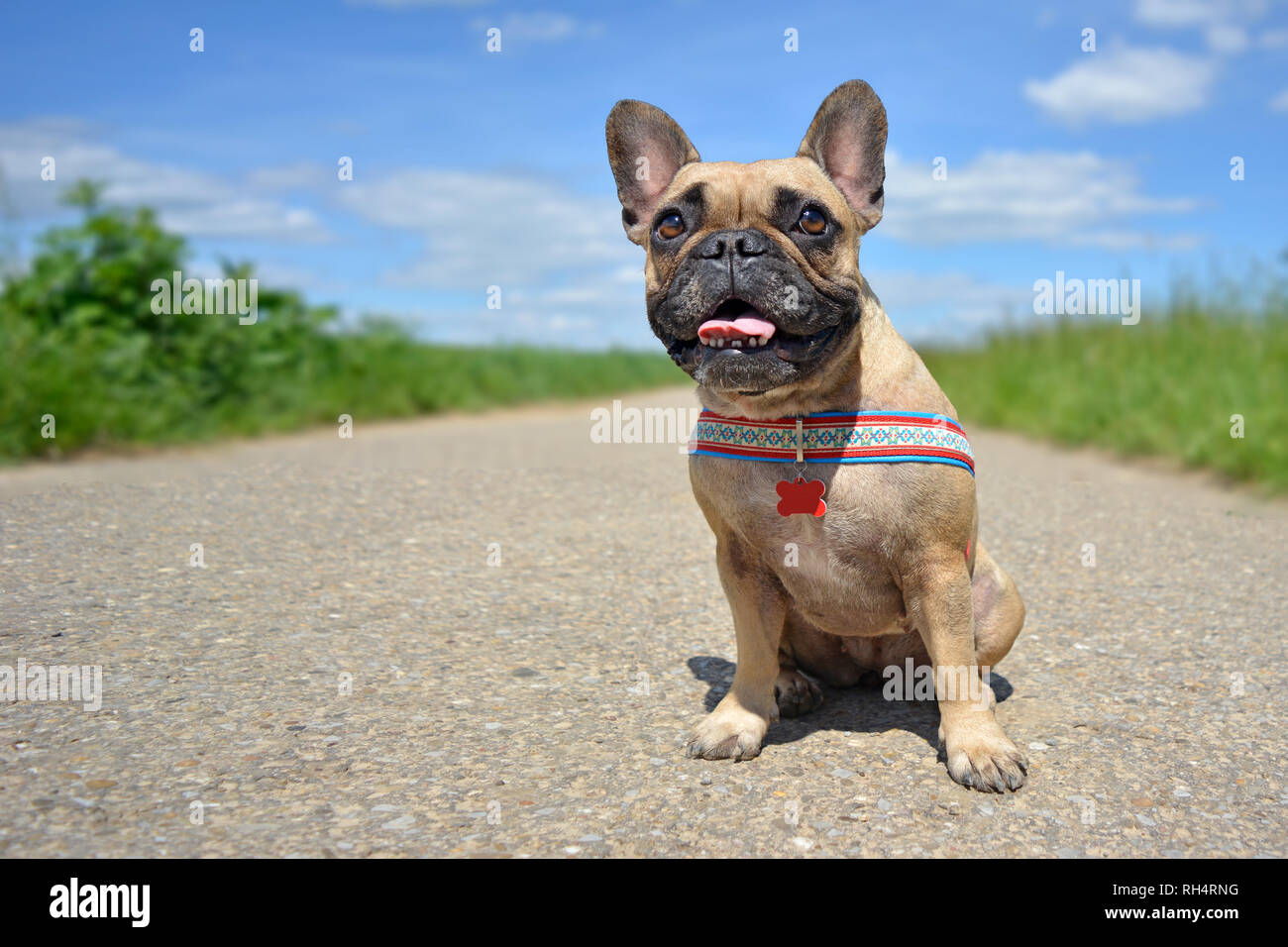Wide angel dog photography of a cute smiling female French Bulldog sitting on a country road surrounded by fields and blue sky - Stock Image