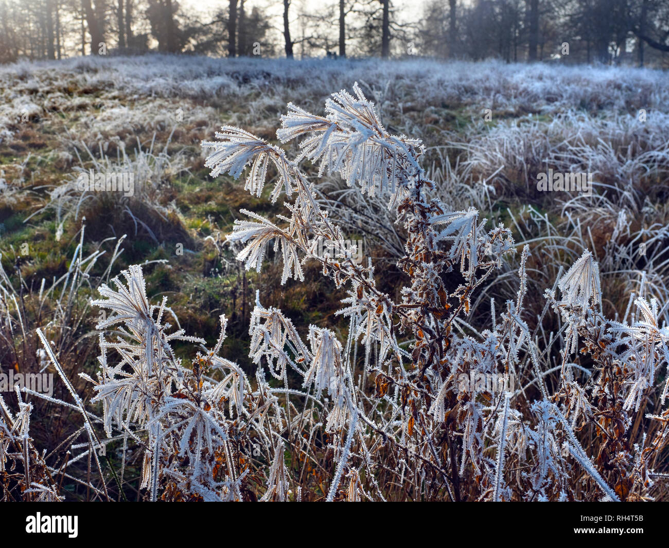 frosted dead stems of Rosebay Willowherb Epilobium angustifoliu - Stock Image