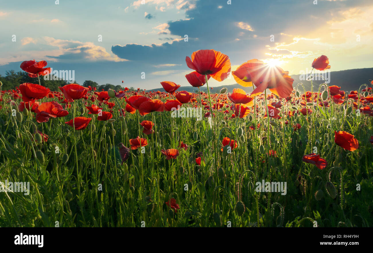 red poppy flowers in the field. beautiful springtime scenery at sunset in mountains. lovely nature background. - Stock Image
