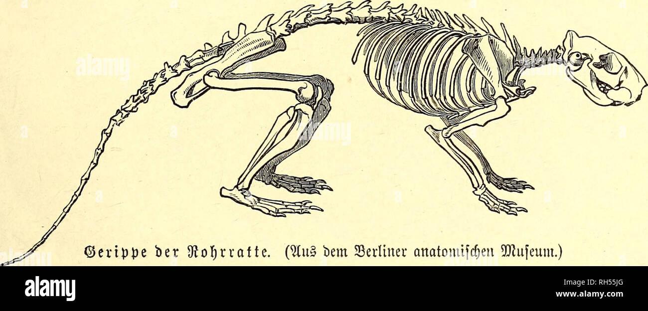 . Brehms Tierleben : allgemeine Kunde des Tierreichs : mit 1800 Abbildungen im Text, 9 Karten und 180 Tafeln in Farbendruck und Holzschnitt. Zoology; Animal behavior. 2uKgemetne§. 595 Sie XxxiQxatUn leben in Sßälbem ober in offenen ©egenben, bie einen in £e<fen unb Sufdjwerf, bie anbeten an ben ©traßenanpflangungeu, jroifd&en gelfen, an ben Ufern von glüffen nnb ©trömen, felbft an ber Hüfte be£ 9Jleere£. ©ewöfmlicf) wohnen fie gefeltfd)aft= lid) in felbftgegrabenen unterirbtfd)en Sauen mit gaf)lreid)en 9ftünbungen. (Einige finb ec^te 2LUtl)ler, welche, wie bie Maulwürfe, §anfen aufwerfe - Stock Image