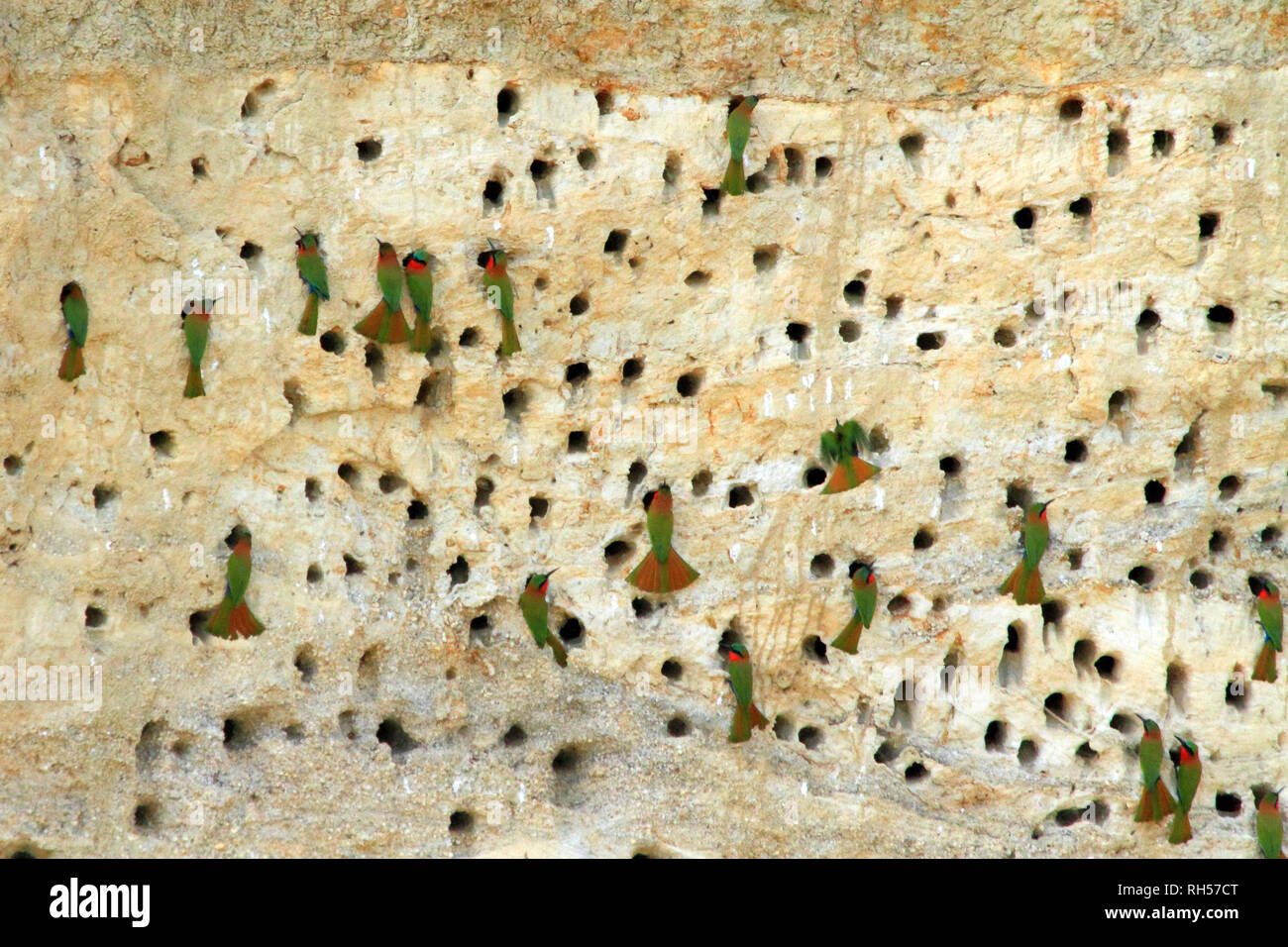 Bee-eaters nesting in holes made in a cliff side along the River Nile in Uganda - Stock Image