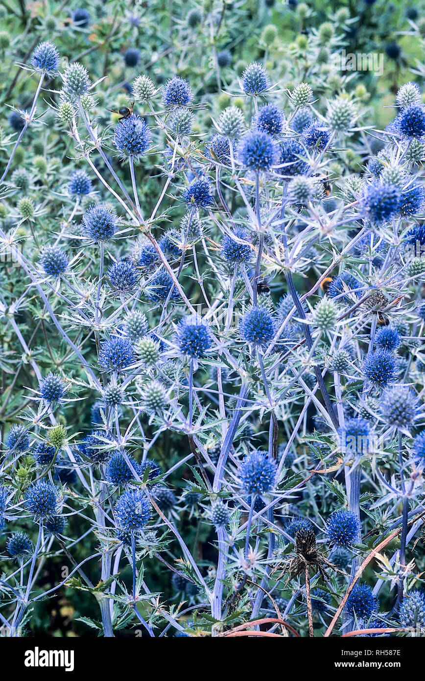 Bed of Eryngium creticum in full flower also called Sea Holly and is a herbaceous perennial that is fully hardy  Will grow in poor soil Stock Photo